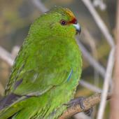 Yellow-crowned parakeet. Side view of adult head. Mana Island, March 2009. Image © Peter Reese by Peter Reese