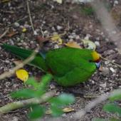 Yellow-crowned parakeet. Adult walking on ground. Mana Island, November 2012. Image © Colin Miskelly by Colin Miskelly