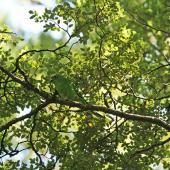 Orange-fronted parakeet. Adult showing camouflage effect. Hawdon Valley, February 2007. Image © David Boyle by David Boyle