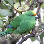 Orange-fronted parakeet. Adult male in captivity. Isaac Conservation and Wildlife Trust, Christchurch. Image © John Kearvell by John Kearvell