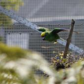 Orange-fronted parakeet. Male in flight. Isaacs Wildlife Trust. Image © John Kearvell by John Kearvell
