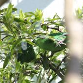 Orange-fronted parakeet. Captive birds courtship feeding (male on right). Isaacs Wildlife Trust. Image © John Kearvell by John Kearvell