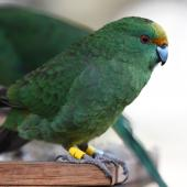 Orange-fronted parakeet. Adult at supplementary feed station. Hawdon Valley, Arthur's Pass, September 2017. Image © Ben Weatherley by Ben Weatherley