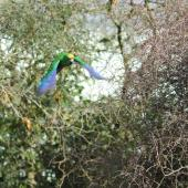 Orange-fronted parakeet. Front view of captive adult male in flight. Isaacs Wildlife Trust. Image © John Kearvell by John Kearvell