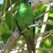 Orange-fronted parakeet. Adult. Blumine Island, November 2019. Image © Scott Brooks (ourspot) by Scott Brooks