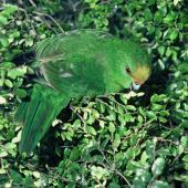 Orange-fronted parakeet. Juvenile feeding. Nelson, January 1983. Image © Department of Conservation (image ref: 10028825) by Dave Crouchley, Department of Conservation Courtesy of Department of Conservation