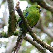 Forbes' parakeet. Adult bird with tail moult. Mangere Island, March 2011. Image © Nikki McArthur by Nikki McArthur