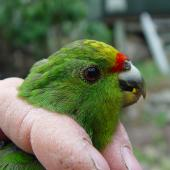 Forbes' parakeet. Close up of juvenile head in the hand. Mangere Island, February 2009. Image © Graeme Taylor by Graeme Taylor