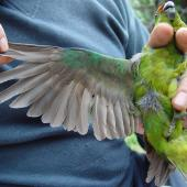 Forbes' parakeet. Adult showing underwing in the hand. Mangere Island, February 2009. Image © Graeme Taylor by Graeme Taylor
