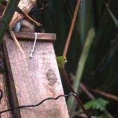Forbes' parakeet. Female at nest box entrance. Mangere Island, December 2000. Image © Terry Greene by Terry Greene