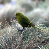 Forbes' parakeet. Adult foraging. Mangere Island, December 2000. Image © Terry Greene by Terry Greene