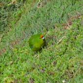 Forbes' parakeet. Adult feeding on iceplant. Mangere Island, Chatham Islands, May 2015. Image © Robyn Smith by Robyn Smith
