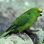 Forbes' parakeet. Adult showing wing feather detail. Mangere Island, Chatham Islands, October 1981. Image © Department of Conservation (image ref: 10033821) by Dave Crouchley, Department of Conservation Courtesy of Department of Conservation