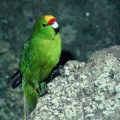 Forbes' parakeet. Adult female. Mangere Island, Chatham Islands, November 1982. Image © Department of Conservation (image ref: 10033457) by Dave Crouchley, Department of Conservation Courtesy of Department of Conservation