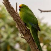Forbes' parakeet. Adult. Mangere Island, Chatham Islands, October 2020. Image © James Russell by James Russell