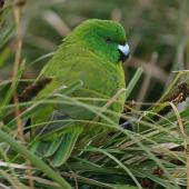 Antipodes Island parakeet. Rear view of adult. Antipodes Island, January 2008. Image © David Boyle by David Boyle
