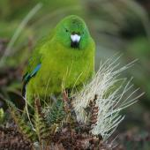 Antipodes Island parakeet. Front view of adult. Antipodes Island, February 2011. Image © David Boyle by David Boyle