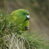 Antipodes Island parakeet. Adult feeding. Antipodes Island, February 2011. Image © David Boyle by David Boyle