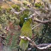 Antipodes Island parakeet. Male feeding nesting female. Antipodes Island. Image © Terry Greene by Terry Greene