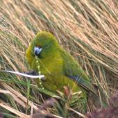 Antipodes Island parakeet. Adult feeding on Carex leaves. Antipodes Island, November 1995. Image © Terry Greene by Terry Greene