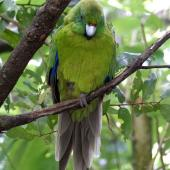 Antipodes Island parakeet. Adult in captivity. Hamilton Zoo, January 2016. Image © Alan Tennyson by Alan Tennyson