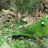 Antipodes Island parakeet. Adult on ground. Antipodes Island, October 1990. Image © Colin Miskelly by Colin Miskelly
