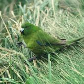 Antipodes Island parakeet. Adult feeding. Antipodes Island, October 1990. Image © Colin Miskelly by Colin Miskelly