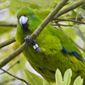 Antipodes Island parakeet. Captive bird holding branch. Hamilton, October 2012. Image © Raewyn Adams by Raewyn Adams