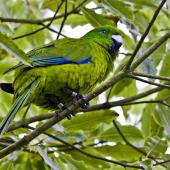 Antipodes Island parakeet. Captive adult. Hamilton, October 2010. Image © Raewyn Adams by Raewyn Adams