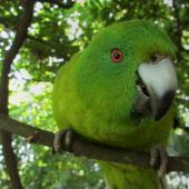 Antipodes Island parakeet. Curious adult, shows facial detail. Hamilton Zoo, January 2014. Image © Oscar Thomas by Oscar Thomas https://www.flickr.com/photos/kokakola11