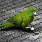 Antipodes Island parakeet. Captive adult holding food in foot. Hilldale Zoo, Hamilton, February 2011. Image © Joke Baars by Joke Baars
