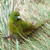 Antipodes Island parakeet. Adult male. Antipodes Island, October 1990. Image © Colin Miskelly by Colin Miskelly