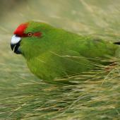 Reischek's parakeet. Adult. Antipodes Island, December 2009. Image © David Boyle by David Boyle
