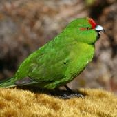 Reischek's parakeet. Adult calling. Antipodes Island, January 2008. Image © David Boyle by David Boyle
