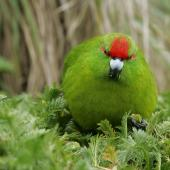 Reischek's parakeet. Front view of adult. Antipodes Island, December 2009. Image © David Boyle by David Boyle
