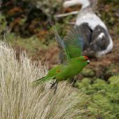 Reischek's parakeet. Adult in flight. Antipodes Island, January 2010. Image © David Boyle by David Boyle