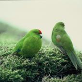 Reischek's parakeet. Two adults showing front and rear views. Antipodes Island, October 1990. Image © Colin Miskelly by Colin Miskelly