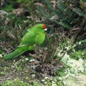 Reischek's parakeet. Adult on ground. Antipodes Island, November 1978. Image © Department of Conservation (image ref: 10033893) by John Kendrick, Department of Conservation Courtesy of Department of Conservation