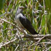 Oriental cuckoo. Adult male. Cattana Wetlands, Queensland, December 2016. Image © Imogen Warren by Imogen Warren