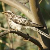 Pallid cuckoo. Juvenile, passage migrant. Canberra, Australia, February 2016. Image © RM by RM