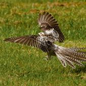 Pallid cuckoo. Juvenile landing from flight. Rockville, Collingwood, December 2019. Image © Bradley Shields by Bradley Shields