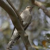 Pallid cuckoo. Adult. Gippsland, Victoria, Australia, October 2007. Image © Sonja Ross by Sonja Ross