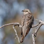 Pallid cuckoo. Adult female. Urambi Hills Reserve, Australian Capital Territory, September 2017. Image © Glenn Pure 2017 birdlifephotography.org.au by Glenn Pure