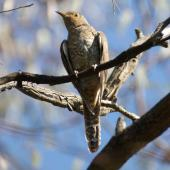Fan-tailed cuckoo. Fledged juvenile. Canberra, January 2016. Image © RM by RM