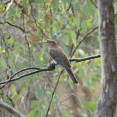 Fan-tailed cuckoo. Juvenile. Canberra, January 2016. Image © RM by RM