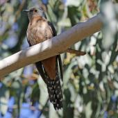 Fan-tailed cuckoo. Adult sitting on branch. Victoria,  Australia, November 2017. Image © Duncan Watson by Duncan Watson