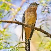 Fan-tailed cuckoo. Adult. Dungog NSW, April 2014. Image © Dick Jenkin by Dick Jenkin  www.jenkinphotography.com.au