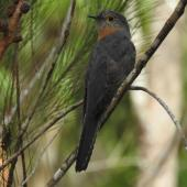 Fan-tailed cuckoo. Adult. Mantaka, North Queensland, October 2015. Image © Ray Pierce by Ray Pierce
