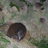 Okarito brown kiwi. Adult exiting its burrow at dusk (the small holes are old kingfisher burrows). Mana Island, October 2017. Image © Colin Miskelly by Colin Miskelly