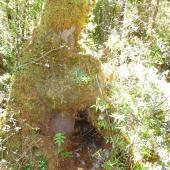 Okarito brown kiwi. A breeding burrow in an old tree stump. Okarito, February 2013. Image © Julie Alach by Julie Alach